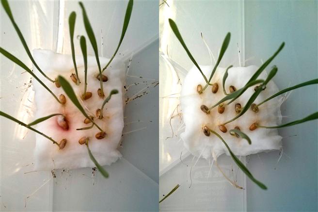 Haben Blattläuse die Wahl zwischen Weizenkeimlingen mit (rechts) und ohne CBT-ol-Behandlung (links), so meiden sie die behandelten Keimlinge. © Wolfgang Mischko / TUM