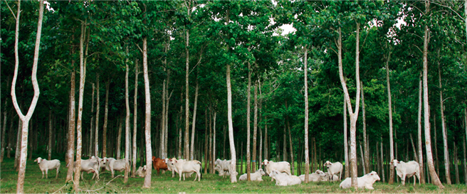 Öko-Wälder für Faber-Castell: Die Bauern übernehmen die Pflege der Wälder und lassen hier auch ihre Cebu-Rinder grasen. © Faber-Castell