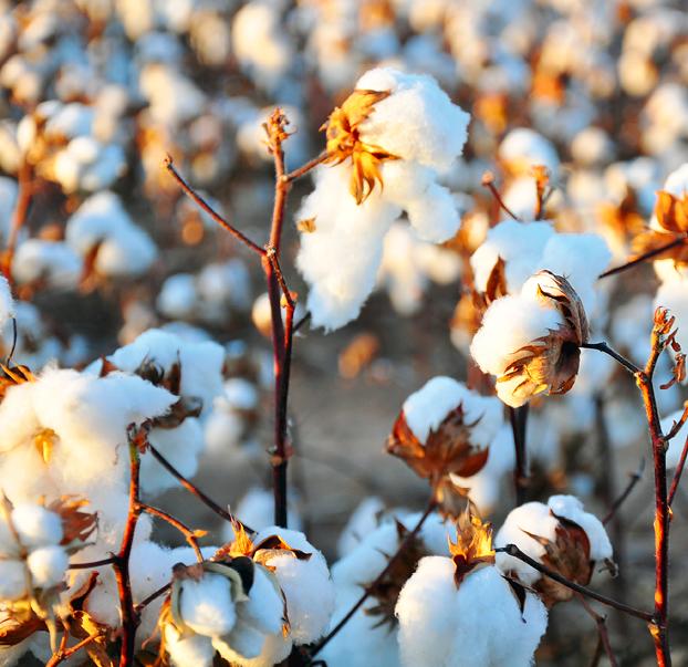 Baumwolle ist die Nutzfaser Nummer eins. Mit zahlreichen Hypotheken für die Umwelt. © pixabay, Kimberly Vardeman