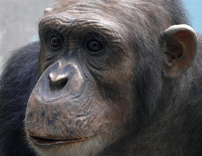 Unser Umgang mit der Natur ist noch ähnlich ''primitiv'' wie der der Schimpansen: Wir behandeln die Natur wie eine unendliche Ressource, was sie aber nicht ist. © Senckenberg