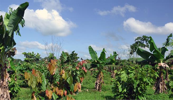 Agroforst-Systeme statt Monokultur: Bananen bieten dem empfindlichen Kakao Schutz vor zu viel Sonne. © Ritter Sport