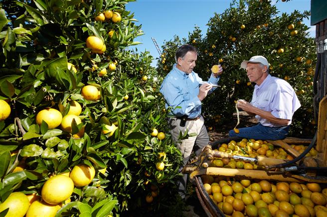 Brasilien, China und die USA sind die größten Produzenten für Orangen. Sie tragen insgesamt 58 Prozent der weltweiten Ernten bei. Die Pflanzenkrankheit Citrus Greening, die sich rasant in den vergangenen zehn Jahren in Brasilien ausgebreitet hat, stellt eine große Gefahr für die gesamte Orangenindustrie dar. In Florida kontrollieren Dr. Dennis Warkentin von Bayer und Zitruserzeuger David Evans (left) die Qualität der Früchte. Foto: Bayer AG