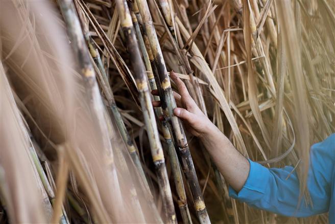 In einem ersten Projekt werden Bayer und Solidaridad Zuckerrohr-Anbauer in Mexiko unterstützen. © Bayer AG