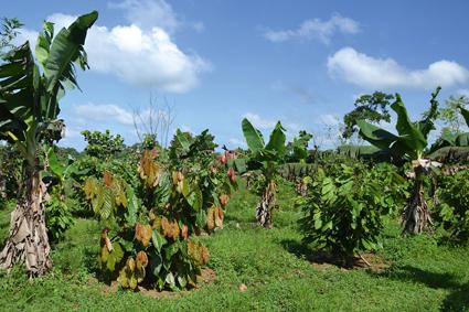 Soll noch in diesem Jahr Früchte tragen: Die Ritter Sport Plantage El Cacao. Foto: Ritter Sport