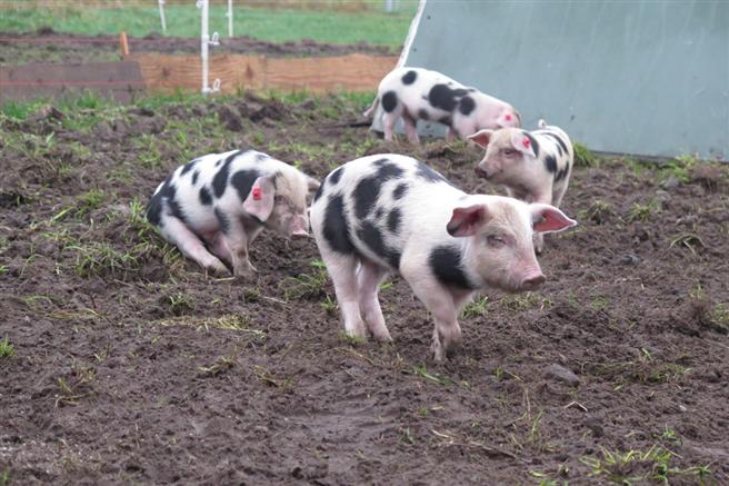 Die Bunten Bentheimer sind bei Kindern und Besuchern beliebt. Bis zur Schlachtung sind sie draußen und pflügen die Erde. Foto: m&p: public relations