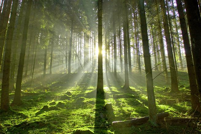 Es dauert 20 Jahre, bis ein Nutzbaum die notwendige Größe erreicht hat, um industriell verarbeitet werden zu können. ©Hubert Körner - Fotolia.com