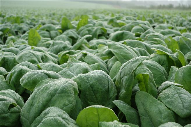 Nachhaltiger, regionaler Gemüseanbau im Münsterland Foto: iglo GmbH
