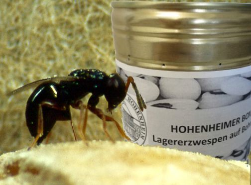 Lagererzwespen können als natürliche Schädlingsbekämpfung eingesetzt werden. © Universität Hohenheim/Prof. Dr. Johannes Steidle