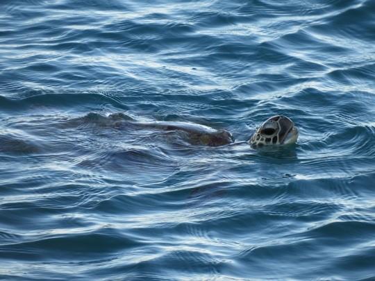 Schildkröten sind im Ozean vielen Gefahren ausgesetzt, darunter Meeresmüll. © IASS / Carole Durussel