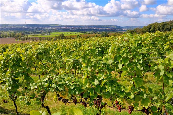 Weinreben auf den Forschungsflächen von LIFE-VinEcoS © LIFE-VinEcoS/Landesweingut Kloster Pforta