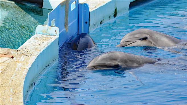 Kann die Gefangenschaft von Delphinen zu ihrem Schutz beitragen? Foto aus der Anlage 'Sealanya', Türkei © Andrea Steffen