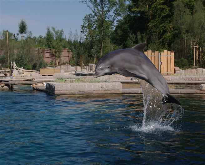 Ein springender Delphin in der Delphinlagune im Tiergarten Nürnberg © Helmut Mägdefrau