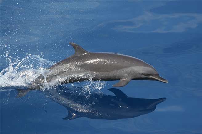 Delphine in freier Wildbahn - haben wir Menschen das Recht, diese faszinierenden Tiere in Gefangenschaft zu halten? © tpsdave, pixabay