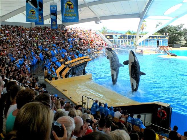 Mehr als eine Millionen Besucher lassen sich jährlich von der Präsentation der Orcas im Loro Parque begeistern. Loro Parque unterstützt zudem den Schutz gefährdeter Meerestiere, darunter auch bedrohter Orca-Populationen und Papageien, seit kurzem auch von Löwen, mit 10 % der Eintrittseinnahmen. © zoos.media