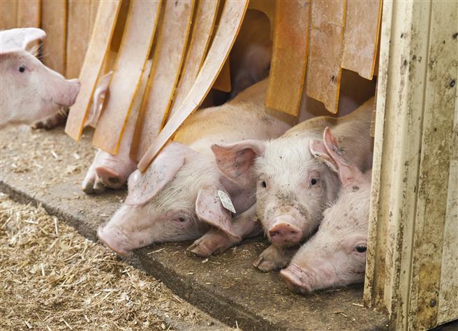 Schweine auf der Versuchsstation der Universität Hohenheim. © Universität Hohenheim / Sacha Dauphin