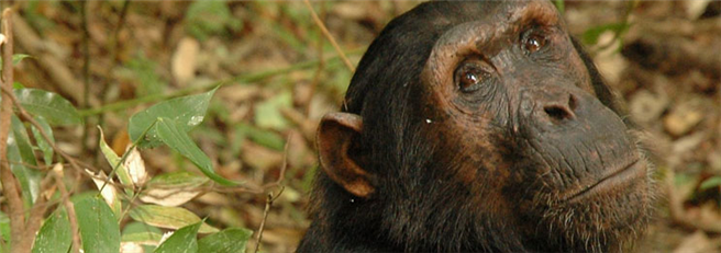 Im Mahale Mountains Nationalpark lebt die größte Schimpansen-Population Ostafrikas. © Carbon Tanzania