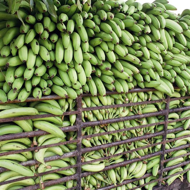 Für die Landwirtschaft in den Anbauländern ist der globale Bananenhunger eine stattliche Herausforderung. ©Rainforest Alliance