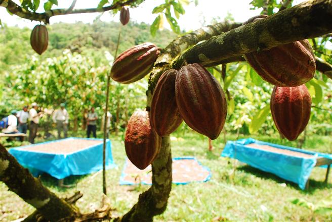 Kakaofarm in Honduras. © Charlie Watson