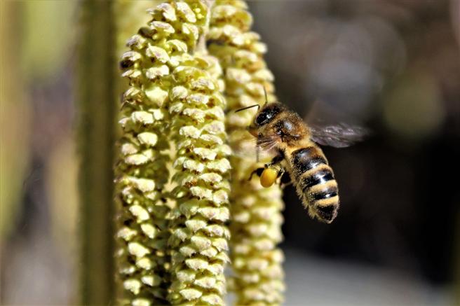 Die Blüten heimischer Sträucher wie Haselnüsse erfreuen die Bienen schon im Februar. © Monikas_Wunderwelt, pixabay.com