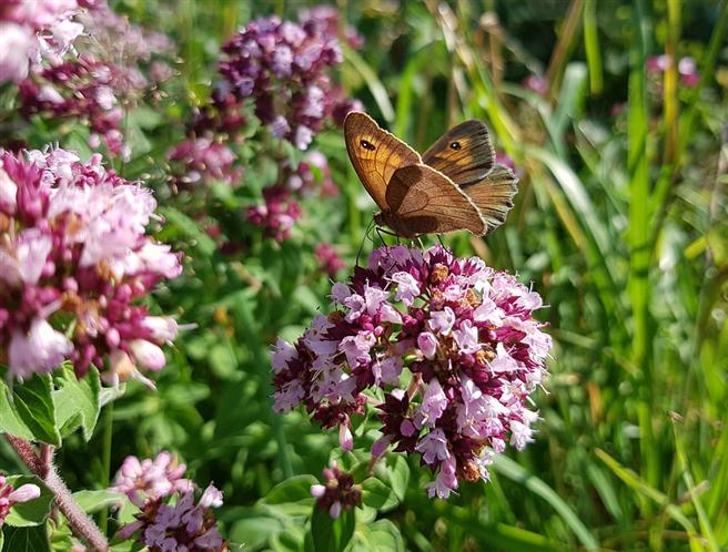 Einheimische Pflanzen wie Dost sind nicht nur für Bienen eine willkommene Nahrungsquelle. © cocoparisienne, pixabay.com