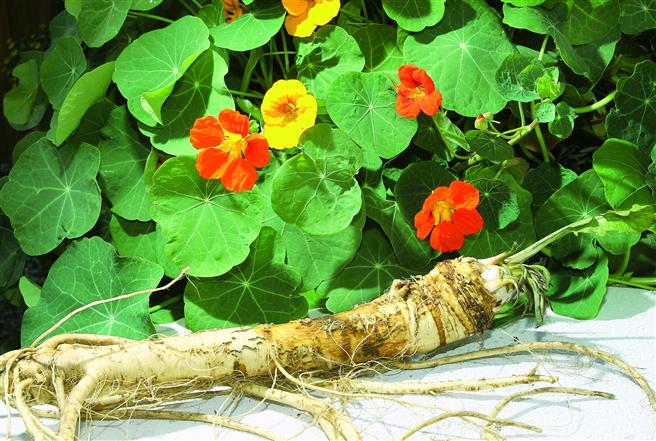 Aufgrund der Senföle und des vielfältigen Wirkmechanismus stellt die arzneilich wirksame Pflanzenkombination eine antiinfektive Therapieoption bei Blasenentzündungen und Erkältungskrankheiten dar. © Thomas Weidner