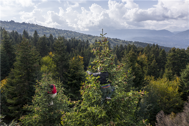 Für toom ein Grund zum Handeln: Ungesichert klettern die georgischen Erntehelfer in die bis zu 30 Meter hohen Baumwipfel, um die Zapfen zu ernten. Copyright: toom