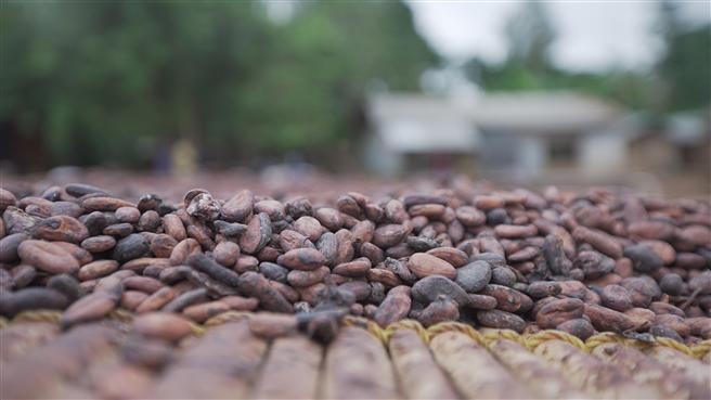 Getrocknete Kakao-Bohnen. © Mondelez