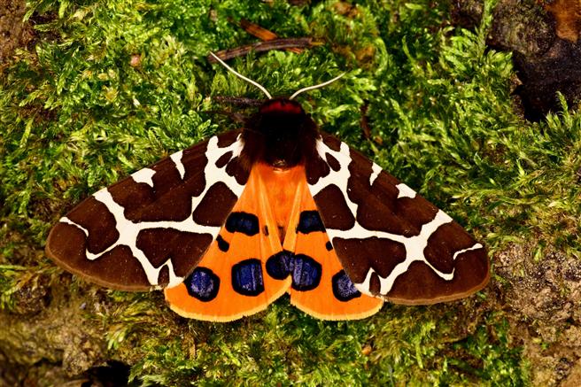 Brauner Bär - Arctia caja: Diese Art ist mittlerweile in Bayern selten geworden und steht auf der Roten Liste in der 'Vorwarnstufe' © HiPP / Thomas Greifenstein