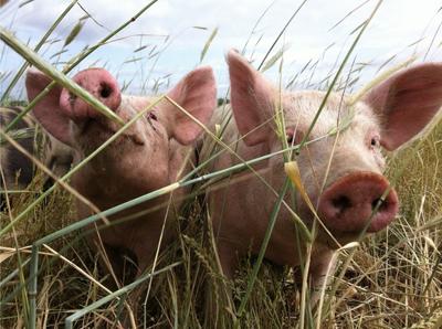 Zwei junge Schweine in Freilandhaltung bei Bauer Schulz, Partnerbauer von MeinekleineFarm.org. © MeinekleineFarm.org